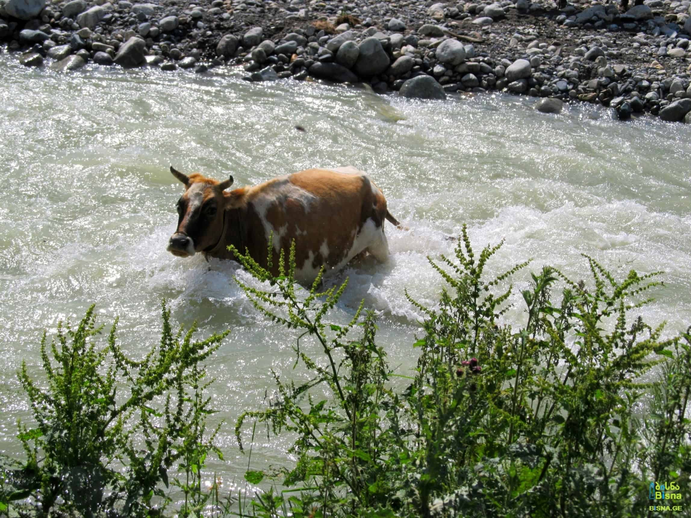 Local cow crossing Enguri River. Between Ushguli and the source of Enguri
